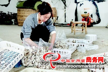 四川绵阳安县食用菌产业成为农民增收致富新渠道