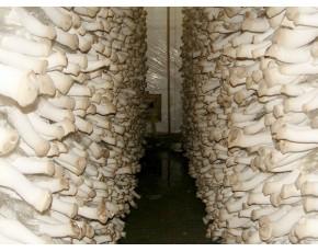 杏鲍菇菌种菌棒