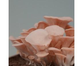 供应桃红平菇栽培种(量大价优)