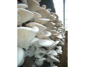 大量供应工厂化瓶栽白灵菇。灰树花,杏鲍菇,猴头
