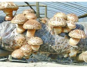产地寻求收购商食用菌香菇鲜菇批发