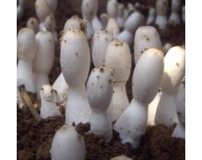 鸡腿菇栽培种 高产鸡腿菇菌种  原种  食用菌菌种 菌棒