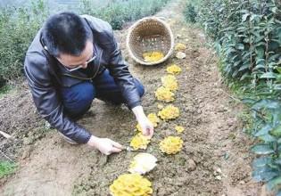 重慶:茶場引種榆黃蘑 現場采摘受追捧