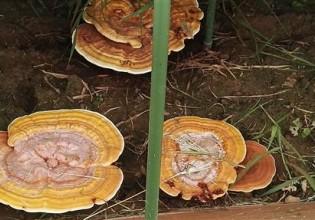 北京:林下标准制式小拱棚栽培灵芝试验获得成功