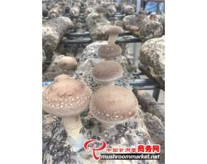 菇菇博士香菇增水剂