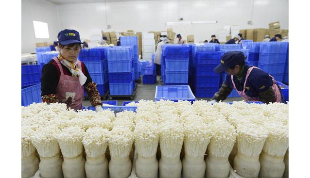 山东:邹城加快食用菌产业发展步伐