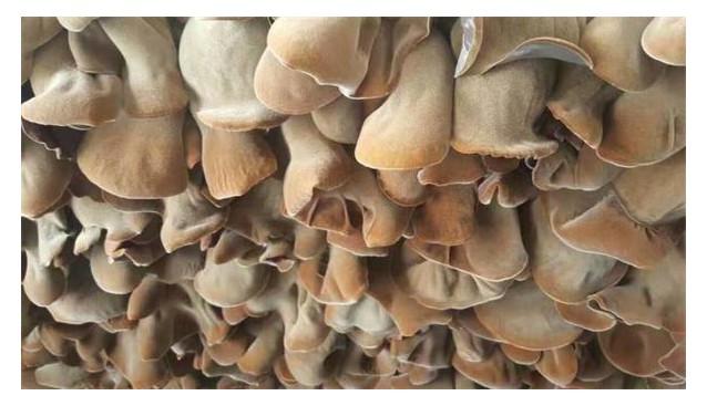 山东:鱼台毛木耳顺利通过国家地理标志产品保护认证