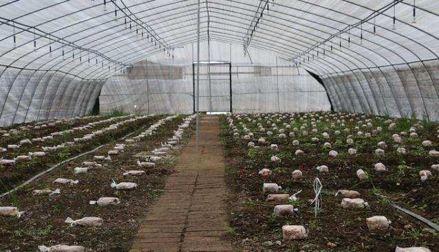 甘肃:舟曲县羊肚菌种植示范基地栽培喜获成功