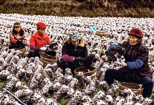 湖南:怀化山村贫困户种植木耳实现脱贫