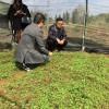 云南:羊肚菌示范基地大量出菇 老君山1号、2号表现突出