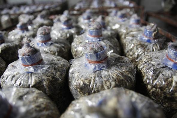 泰國:農業部頒布食用菌生產監督新規定