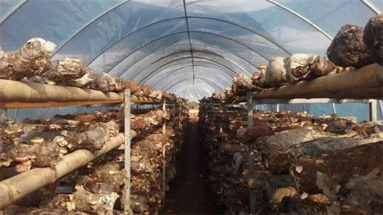 陕西:鑫易源香菇获有机产品认证