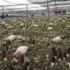 四川:江油羊肚菌基地采收繁忙