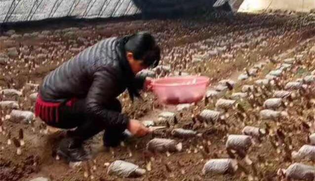 河北保兴现代农业迁西基地羊肚菌亩产超千斤