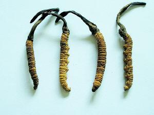 药用菌菇——古尼虫草