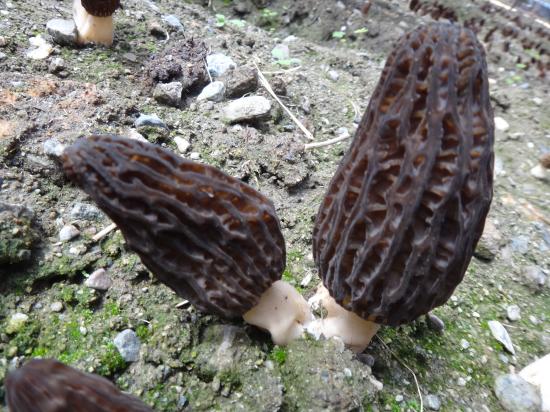 陕西:三秦森工菌业羊肚菌试种成功 实