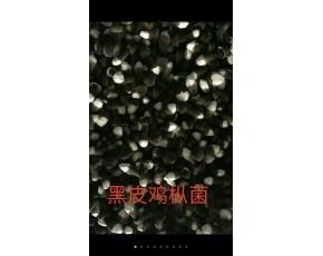黑皮鸡枞菌
