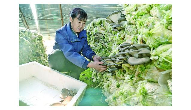 内蒙古:乌兰浩特市扶持发展食用菌种植 助农增收