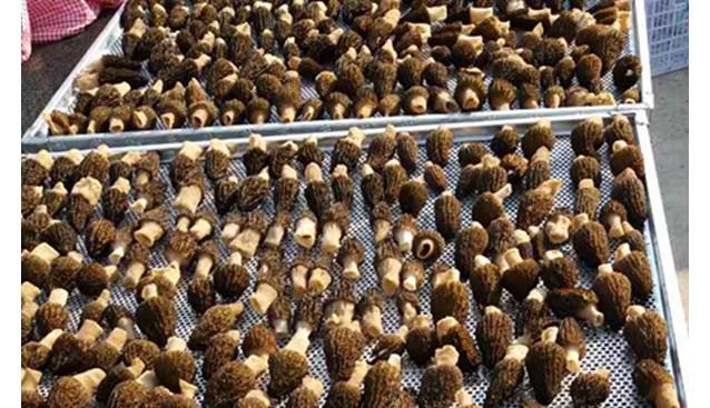 甘肃:甘南青藏高原腹地羊肚菌种植成功