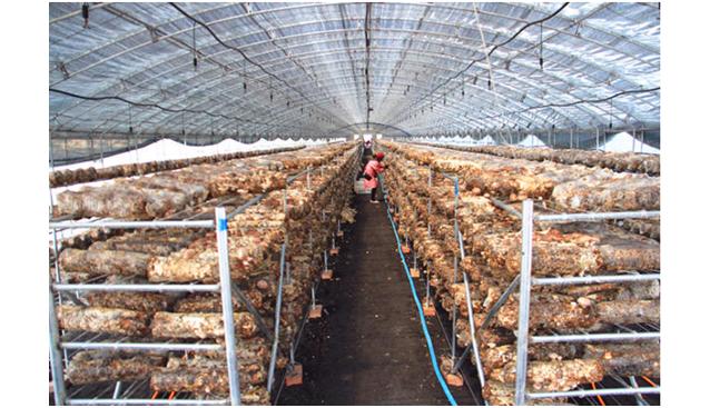 山西光伏香菇大棚香菇上市 每天采摘2万余斤
