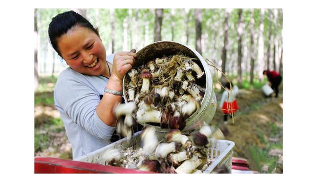 河南民权县林下种植大球盖菇 农民脱贫致富