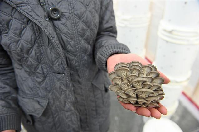 加拿大:啤酒渣混合咖啡渣培育蘑菇并促進循環經濟