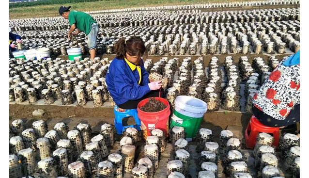 辽宁:昌图县合发源食用菌种植专业合作社员采收木耳工作忙