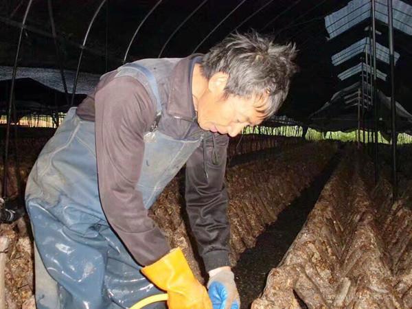 湖北:远安县反季香菇带动贫困户增收脱贫