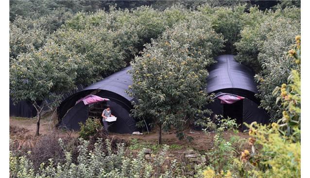 河北:邢台县板栗树间种蘑菇 林下经济助增收