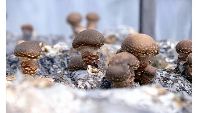 辽宁:丹东发展香菇种植擎起农民