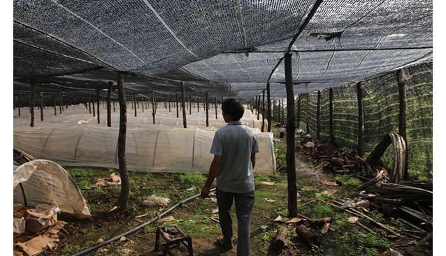河南:汝阳县村民发展灵芝种植 灵芝孢子粉效益良好