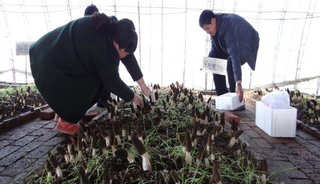 河北:平泉首次引进羊肚菌 多基地试栽取得突破性成果