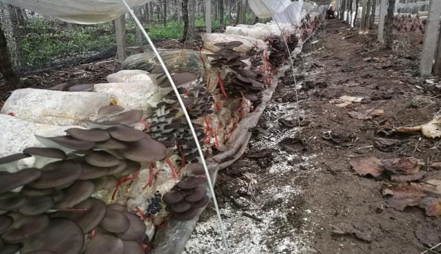 江苏:句容市葡萄种植基地姬菇和猴头菇正值出菇