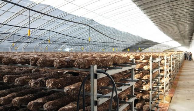 宁夏:贺兰县食用菌产业发展带动移民村就业致富