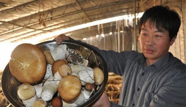 """重庆:城口县将种植""""酒红大球盖菇""""作为扶贫产业"""
