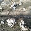 新疆:阿拉尔兵团十一团种植的鸡腿菇大量上市