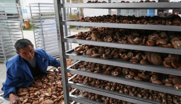 贵州:印江县小小食用菌成为扶贫大产业