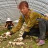 四川:绵阳安州区羊肚菌远销国外