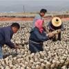 云南:勐海县利用橡胶树培植黑木耳