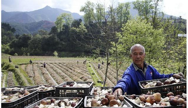 贵州:剑河县大球盖菇种植基地采摘忙