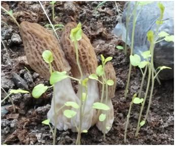 天津:羊肚菌温室大棚种植实现物联网监测与远程控制