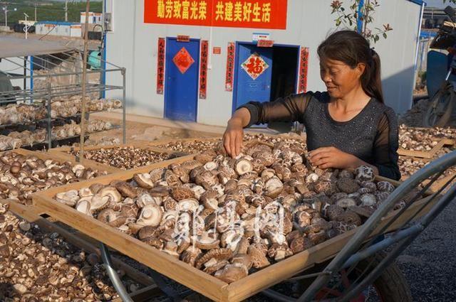 湖北:郧阳香菇小镇迎来第四茬香菇丰收