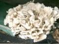 栗蘑栽培技術