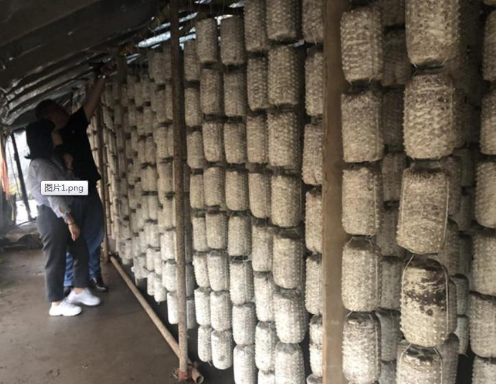连云港市农业科学院生物技术项目组开展玉木耳吊袋技术指导
