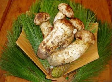 松林菇王——松茸
