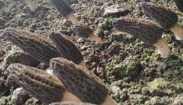 辽宁:铁岭市万和生物羊肚菌和黑木耳大量上市
