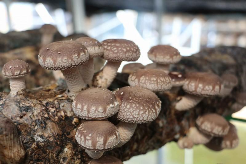 山西:交口县将举办食用菌产业技术与市场培训暨夏季香菇品牌推介活动