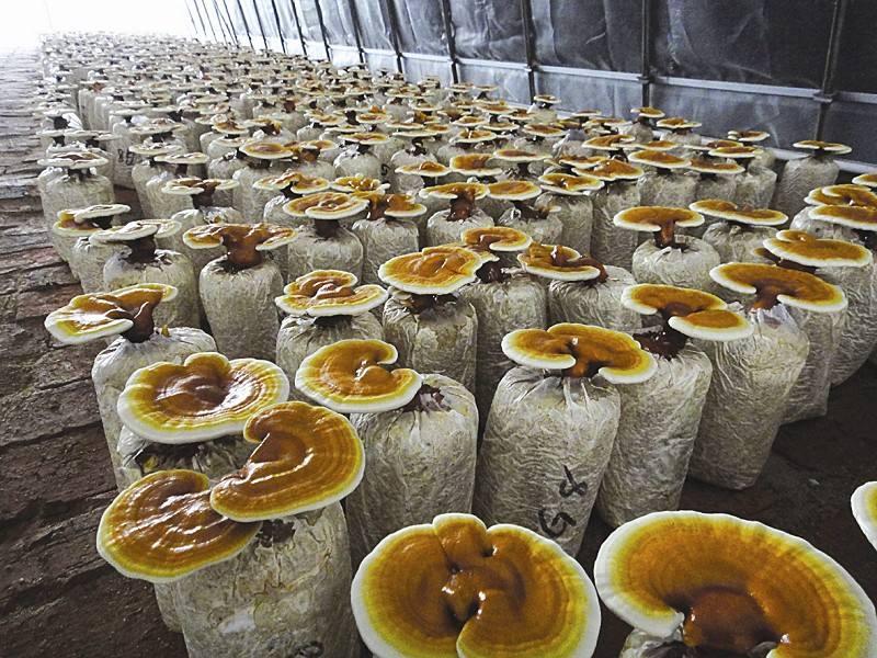 新疆:温泉县林下人工栽培试种的5000袋灵芝喜
