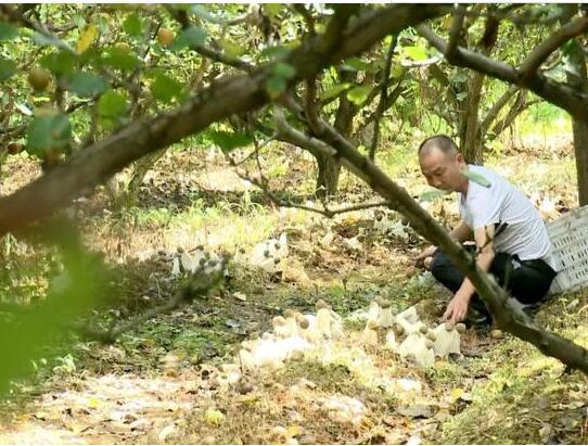 福建:长汀县林下栽培仿野生竹荪带富众乡亲