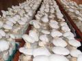 白靈菇人工栽培技術